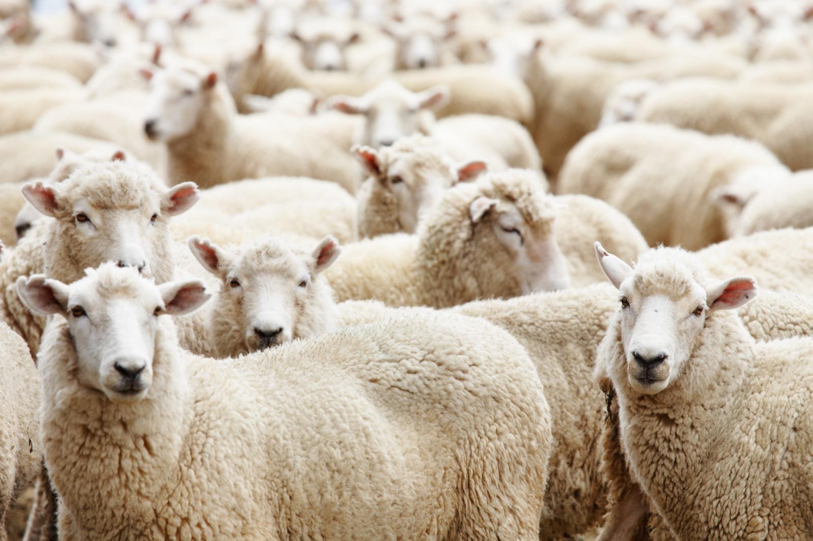Merino Wool material from sheep
